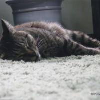 絵が仕上がった次の日は疲れているのか グッスリ寝こんでいるキララ