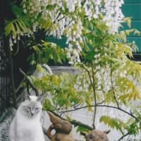 我家の玄関の藤の花とシーサとチビマロン