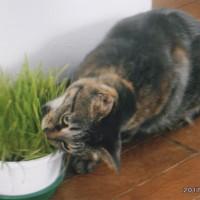 キララは猫草が大好き