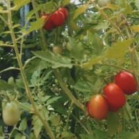美味しいプチトマト。毎朝の食卓の色どりに一役です。