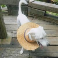 庭にいてるミルクに私の麦わら帽子をあげました。気に入ってくれました